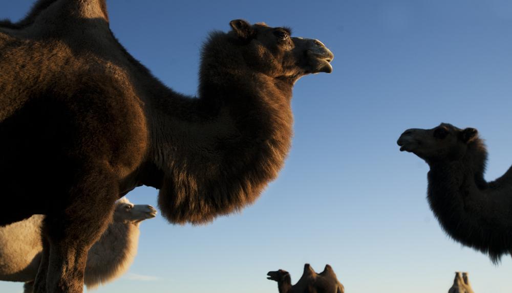Bilden är tagen under kursdagarna i Kalmar för tio år sedan. Om jag minns rätt så var det på Öland. Första och enda gången jag har fotat kameler. Fint kvällsljus var det dessutom.