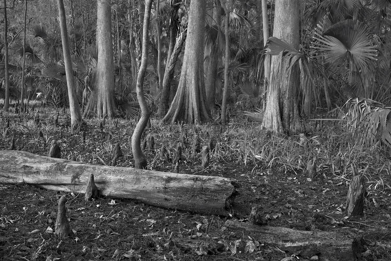 Cypress Forrest