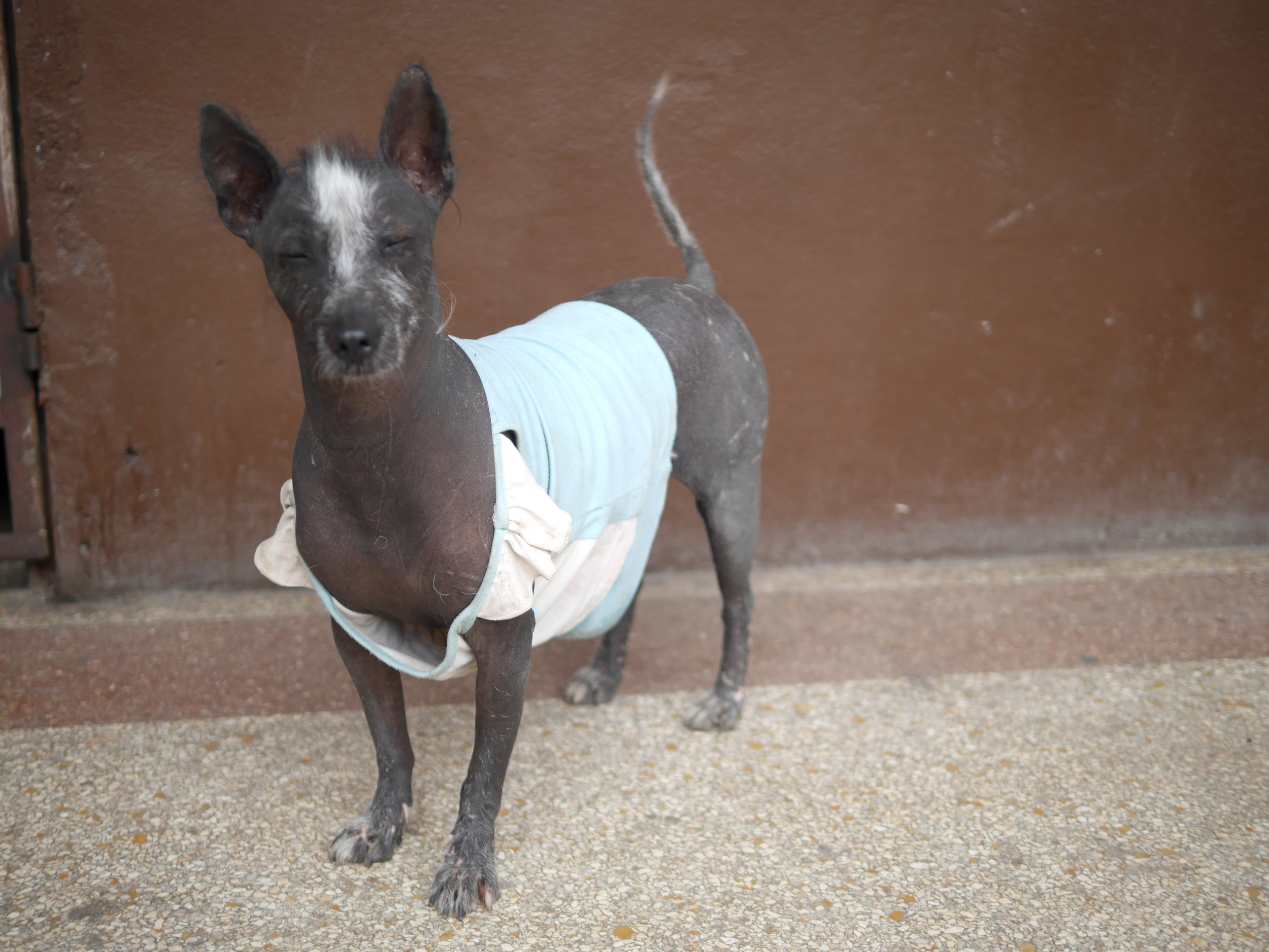 This is Jodi! She's wearing a baby shirt so people will know she's not a stray. There's no collars in Cuba. Awwwww Jodi we love you.