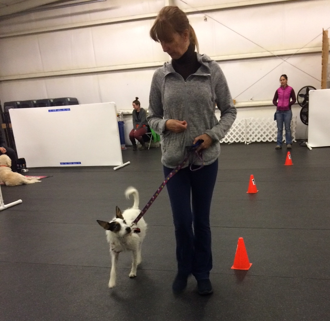 Kipper focuses on his mom while practicing leash walking in the middle of the room.