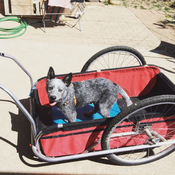 Casper the Cattle Dog, on one of his first adventures in his CycleTote trailer!
