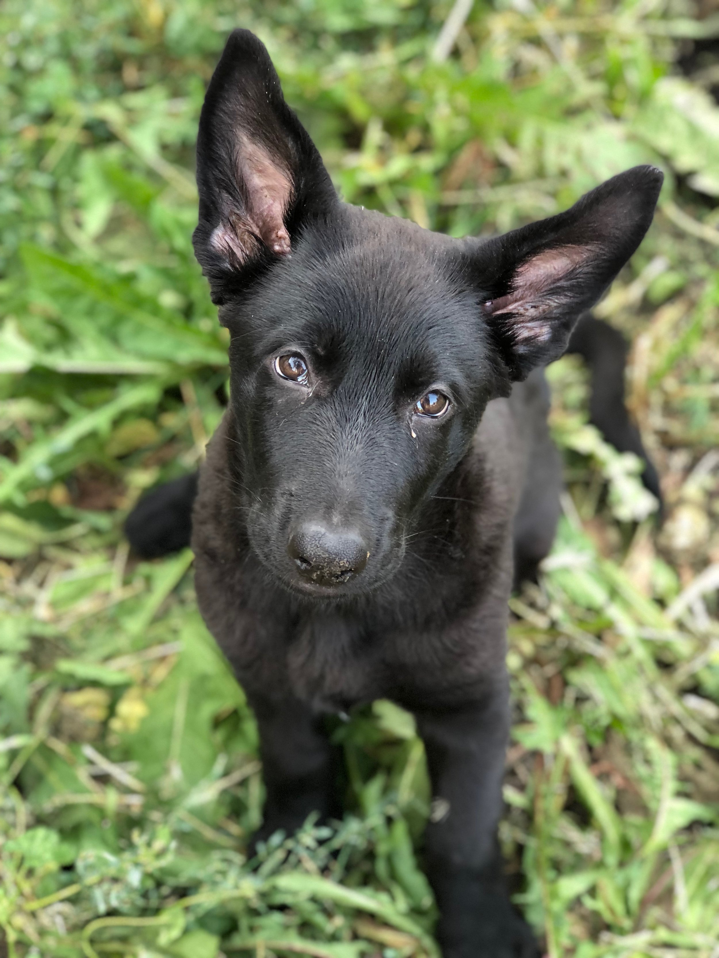German-shepherd-puppy-training-fenrir-wolf-pupy