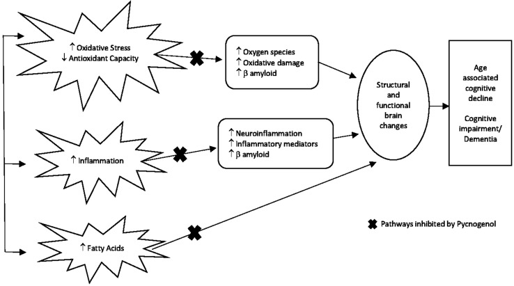 Figure 2   Proposed mechanism of action of PYC as a targeted therapy for preventing cognitive decline . With increasing age, inflammation-reduced antioxidant metabolism leading to increased oxidative stress and damage to fatty acids are common mechanisms that over time can impact on the brain causing structural and functional changes culminating in the outcome of age-associated cognitive decline, cognitive impairment, and/or dementia.  PYC potentially inhibits these mechanisms as represented by the x in the diagram due to its scavenging ability to free radicals and protection of proteins (biomolecules) against oxidative damage  (Packer et al., 1999; Rohdewald, 2002; Ansari et al., 2008), neuron protection from β amyloid-induced apoptonis (Peng et al., 2002; Gulati, 2014), anti-inflammatory effects (Lau et al., 2004), and reduction of fatty acids (Sivonová et al., 2004).