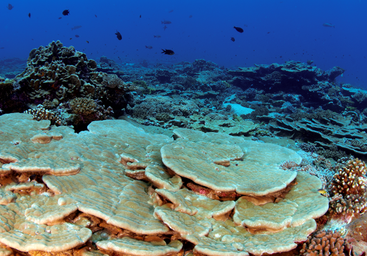Kingman Reef supports a vast variety of marine life, including approximately 38 genera and 130 species of stony corals (Image:  Wikimedia Commons )