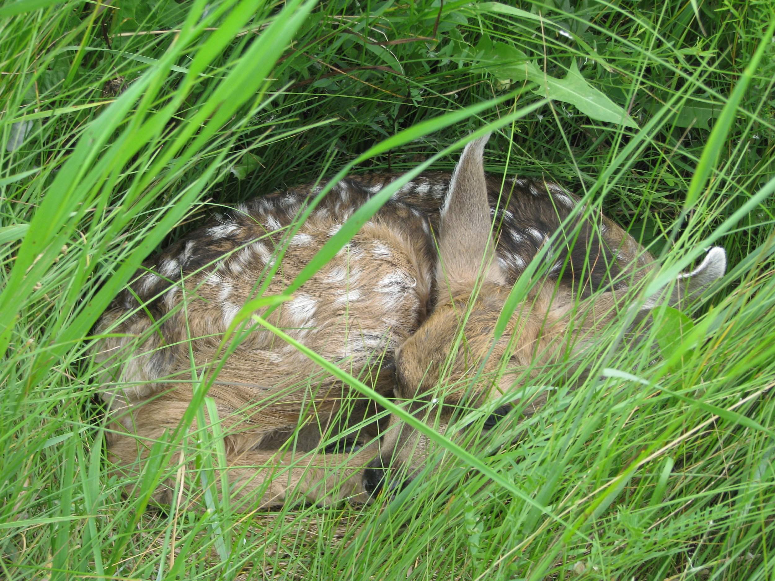 Fawn safely hiding at Golden Ranches