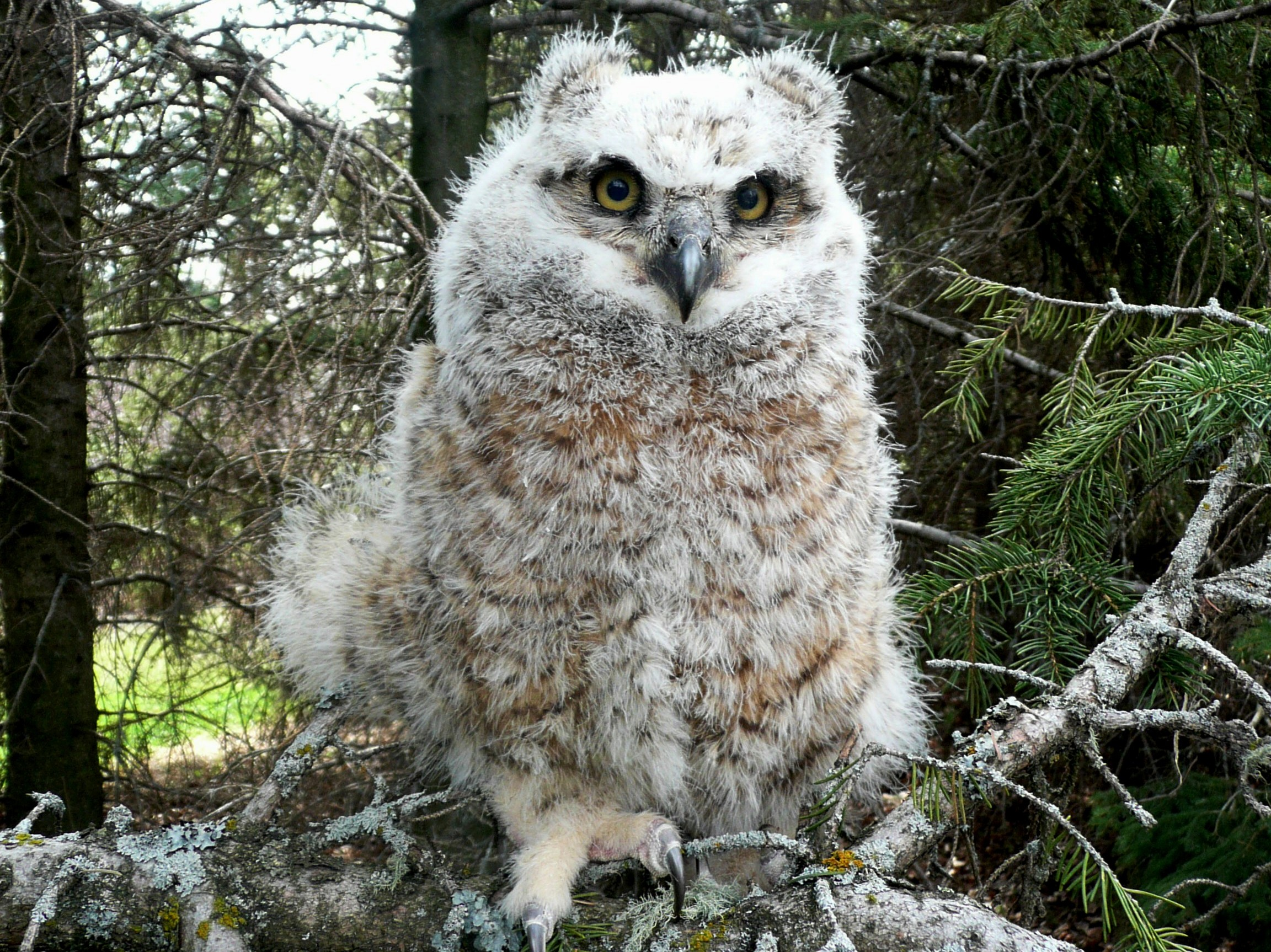 Great Horned Owlet by Marg Reine