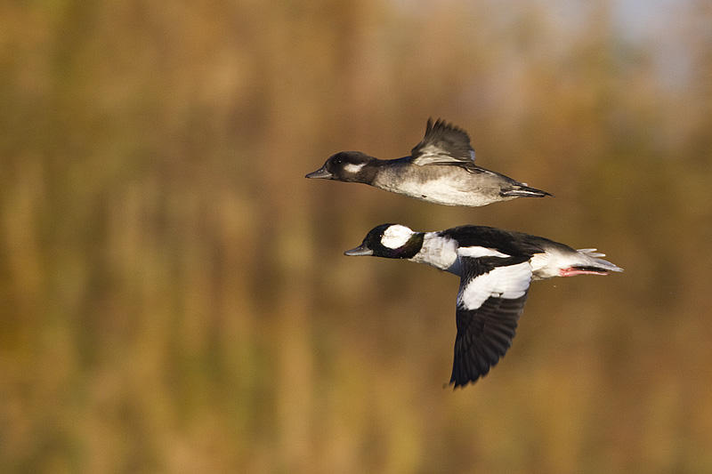 M & F in flight by Gerald Romanchuk