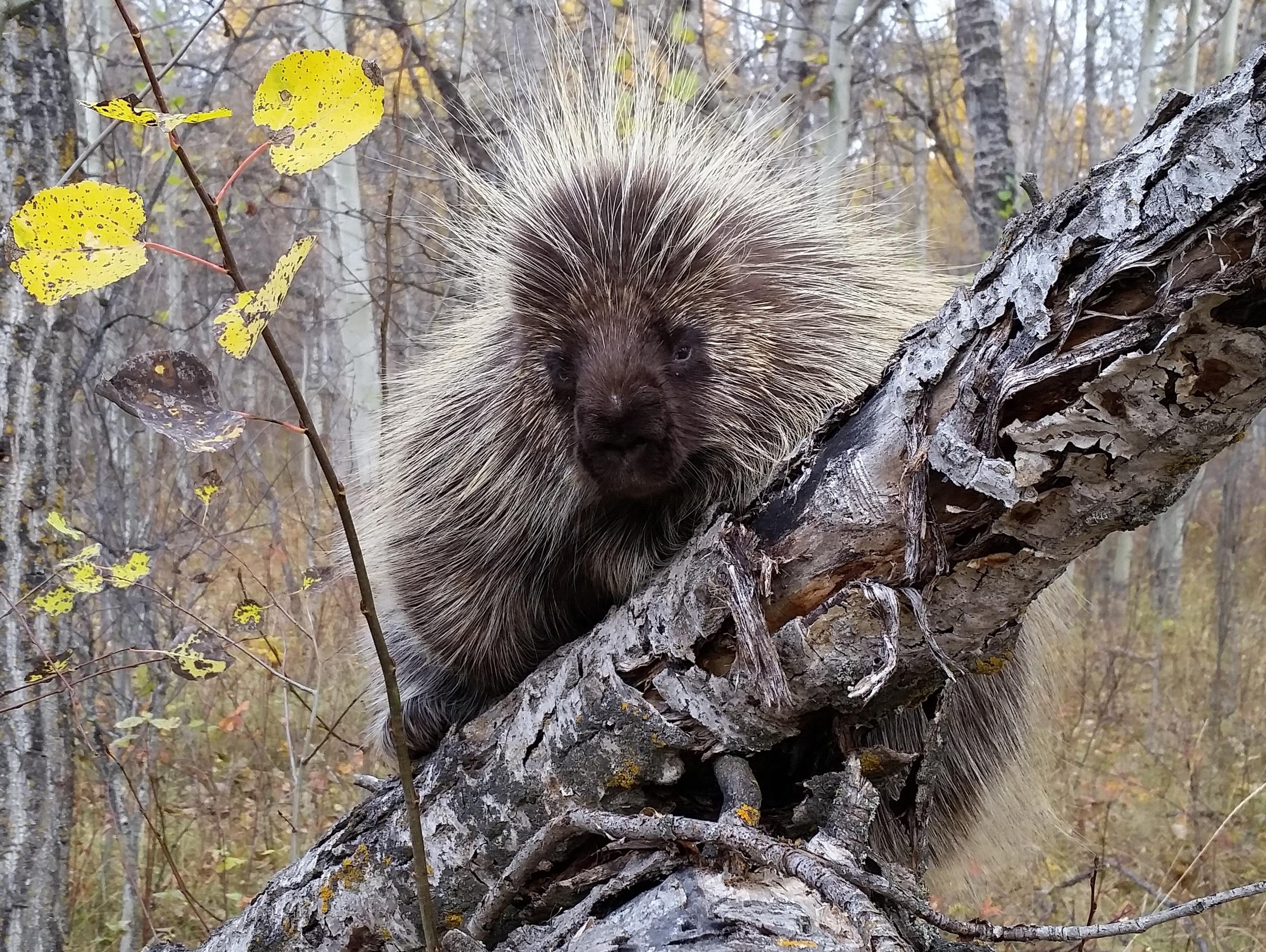 Loving A Human Porcupine - Rosennab - Medium | 752x1000