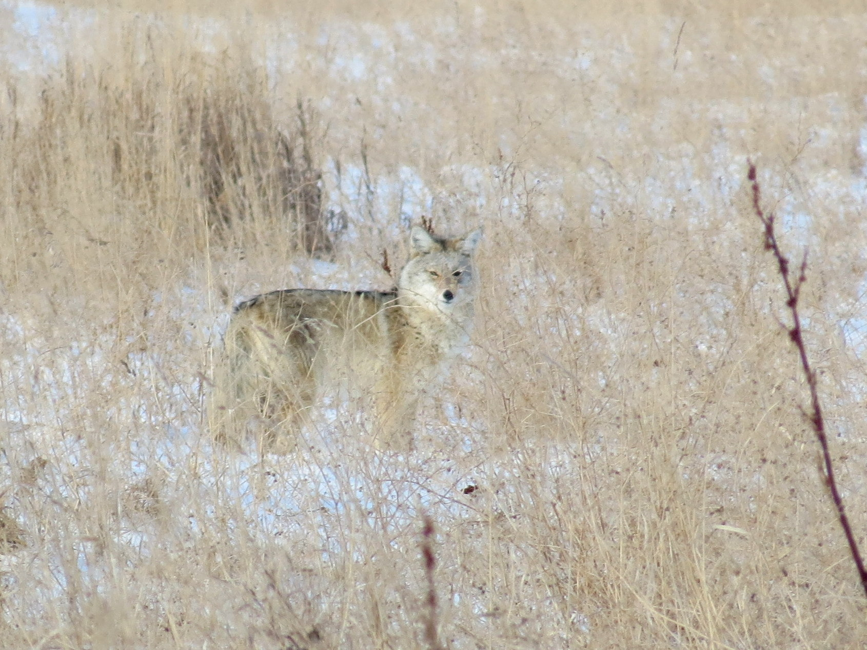 Coyote blending in at Golden Ranches