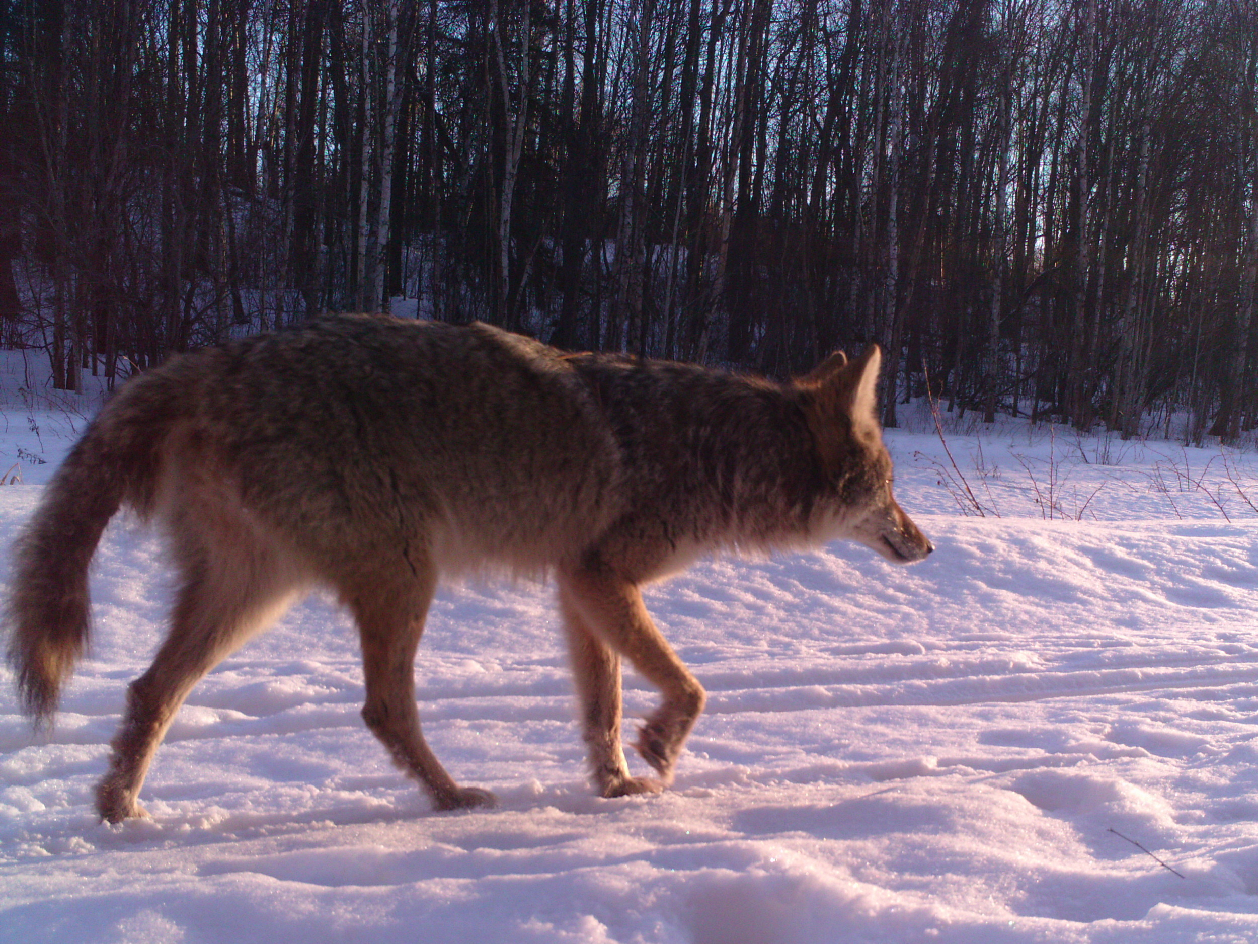 Coyote passing by our wildlife camera at Glory Hills
