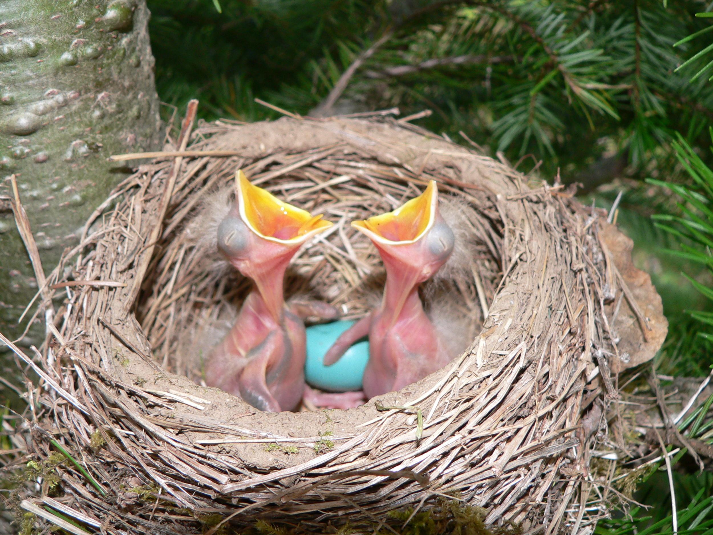 Robin nest 2 - Doris May.jpg
