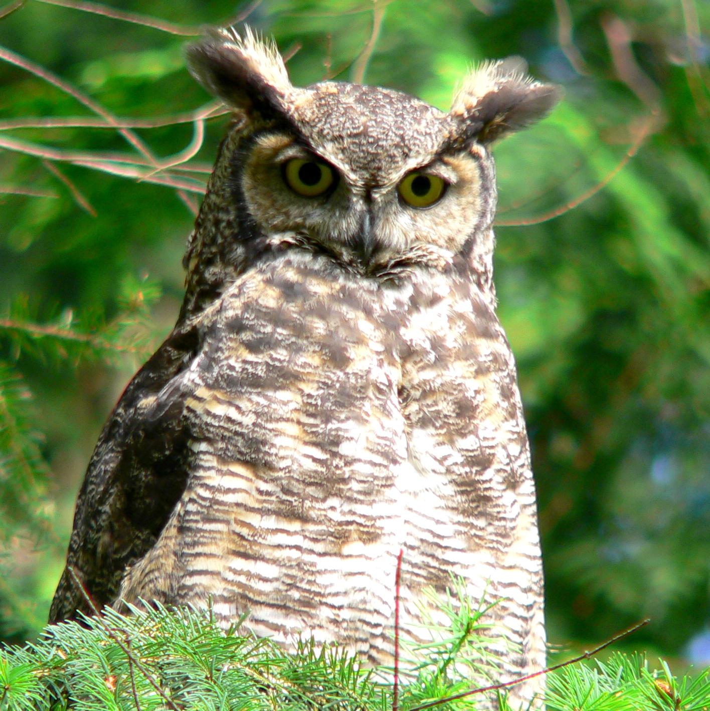 great horned owl - Doris May.jpg