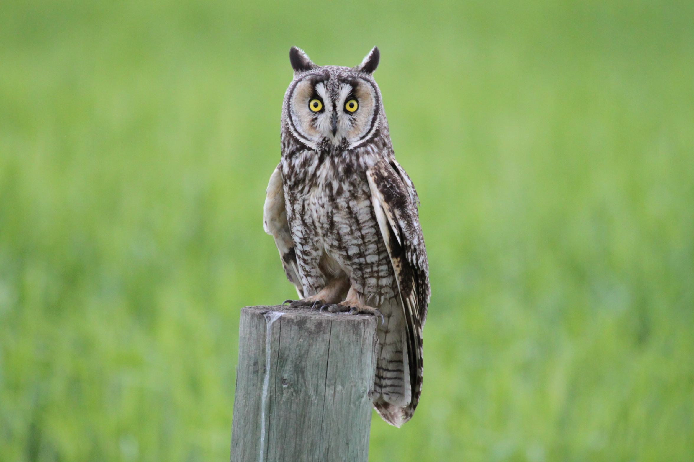 Long eared owl photo by Dorothy Monteith
