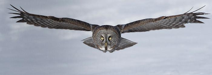 Great Grey Owl by Gordon Court