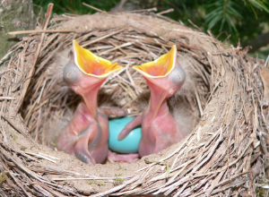 A pair of hatchlings waiting to be fed