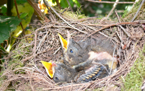 Nestlings have quill-like sheaths that their feathers eventually emerge from
