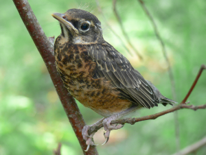 Fledglings often have different colouring than adults of the same species, such as this robin fledgling