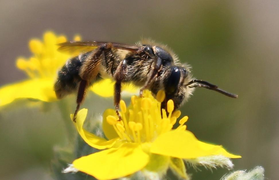 Miner Bee- Monica Kohler