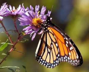 Butterflies are brightly coloured, and hold their wings up vertically into the air