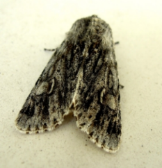 Moths are often dull in colour, and drape their wings against their back