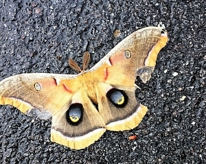 Or they may have feathered antennae, like this Polyphemus moth commonly found in Alberta