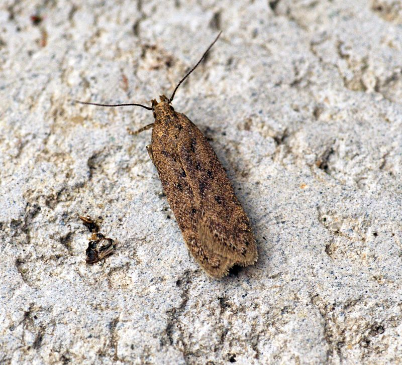 Moths may have thin, tapered antennae