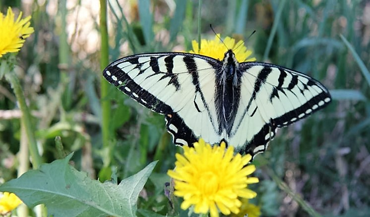 A Canadian Tiger Swallowtail atop a dandelion