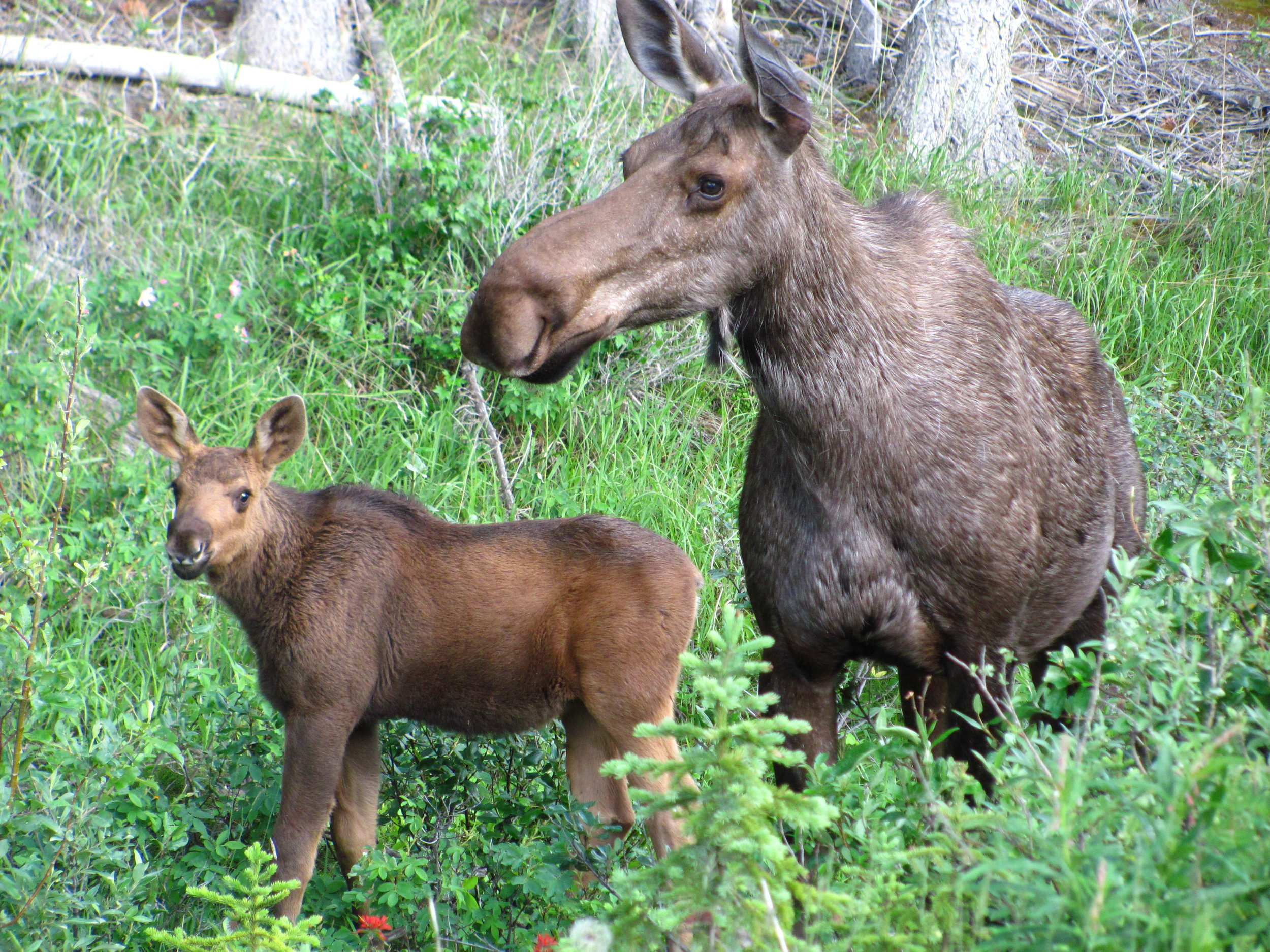Moose_mother_with_calf - Veronika Ronkos.jpg