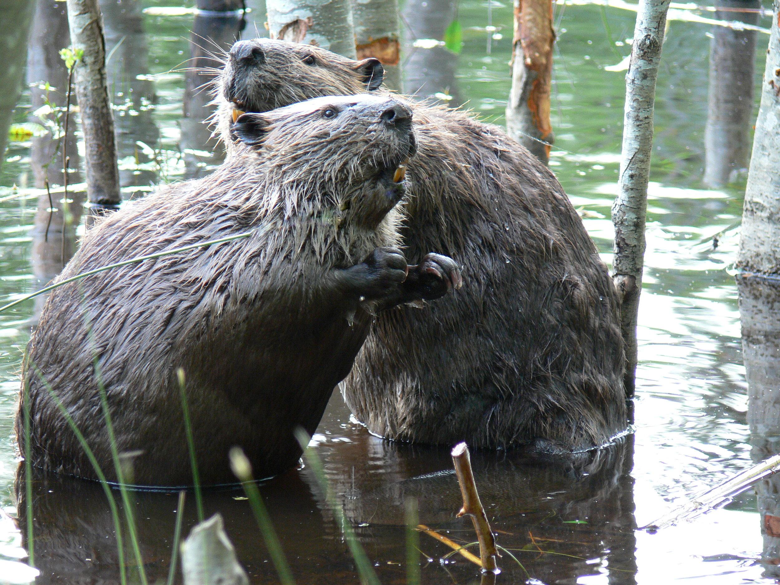 Beavers - Doris May.jpg