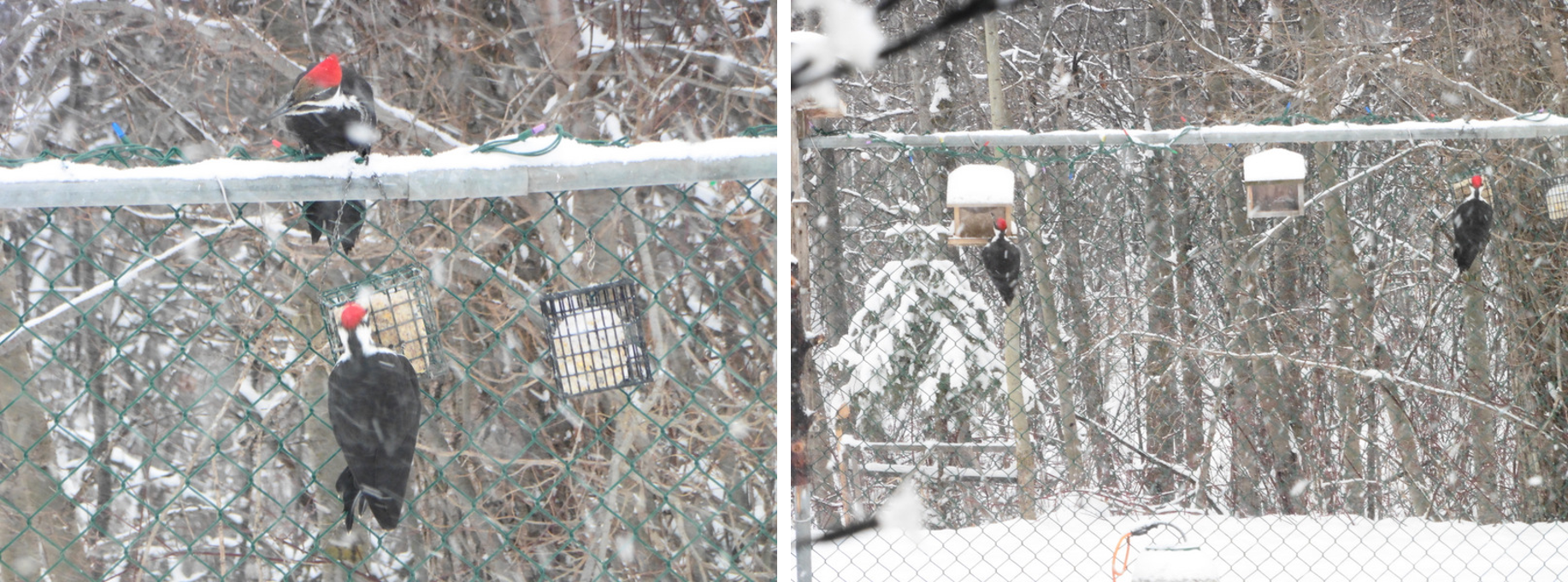Most often the pair will park themselves in the trees and then one or the other will come into the yard to partake at one or more of the feeders. Then they will switch around. But it is a rare occurrence for them both to come at the same time, so it was a real treat to see them together.