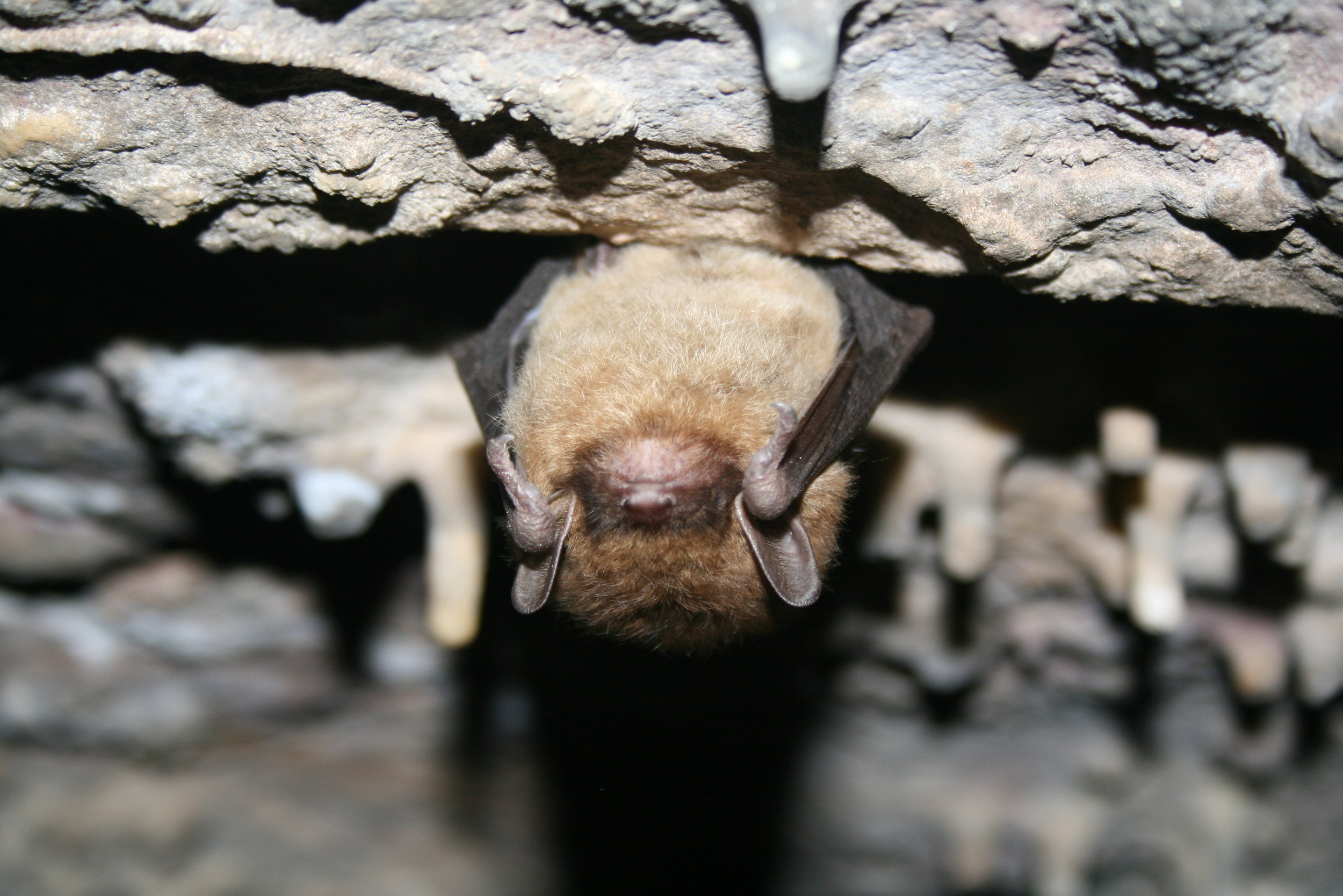 Little Brown Bat by Ann Froschauer, USFWS