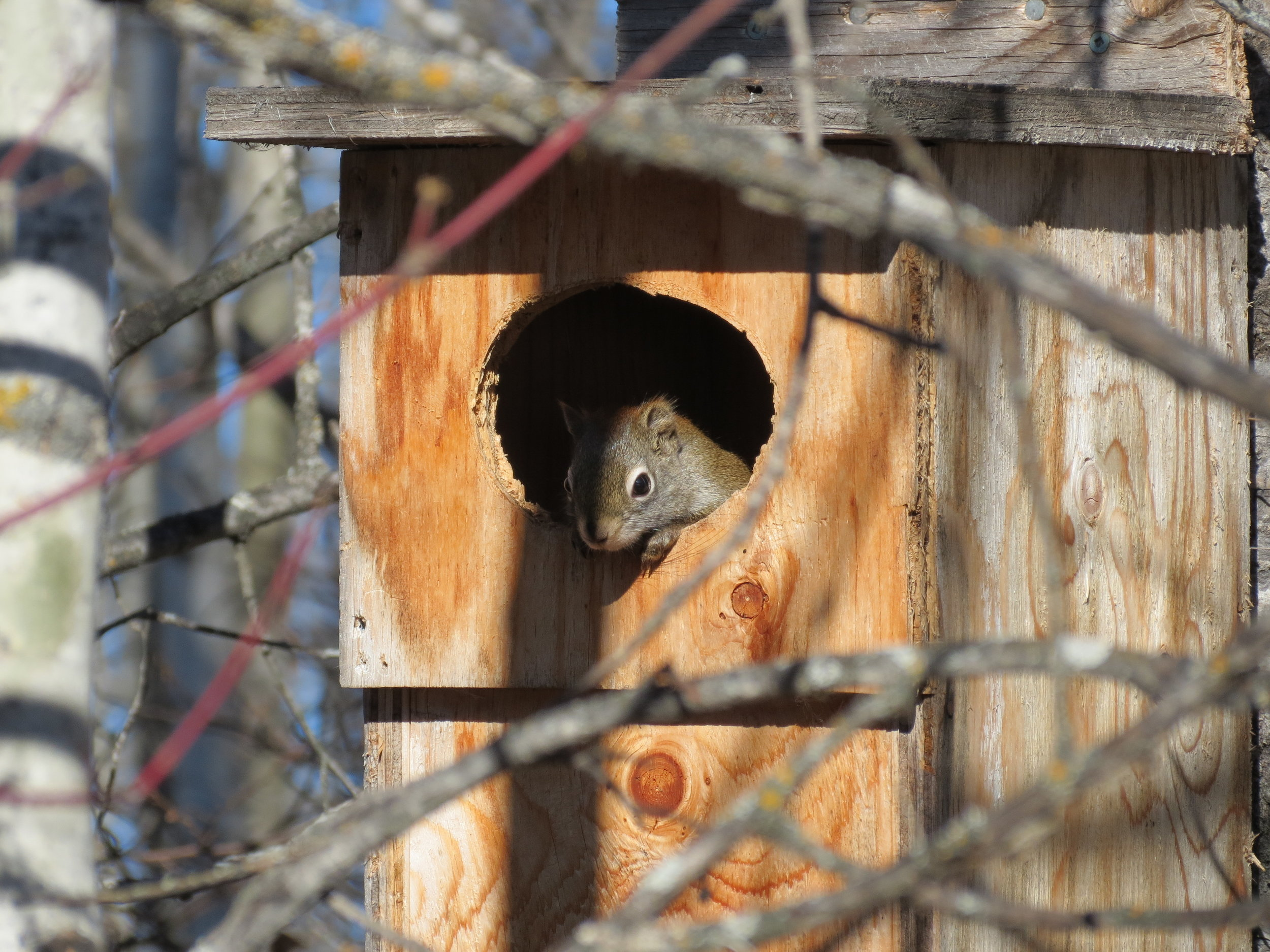 Red Squirrel residents in a waterfowl box. No need to clean this one out!