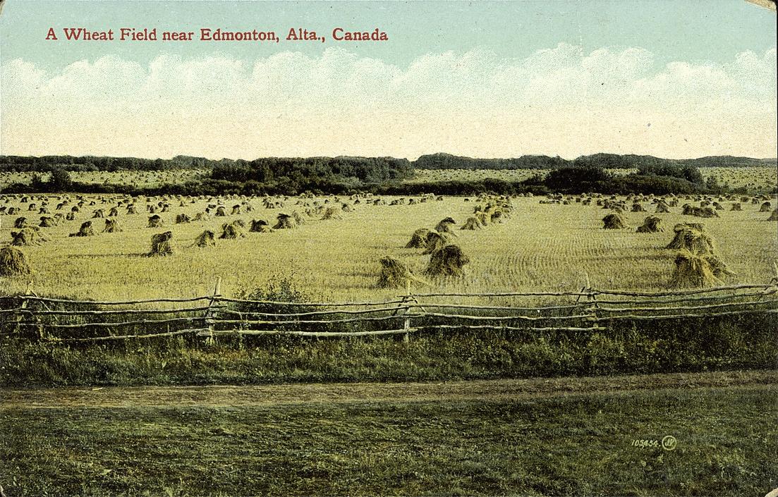 A wheat field near Edmonton