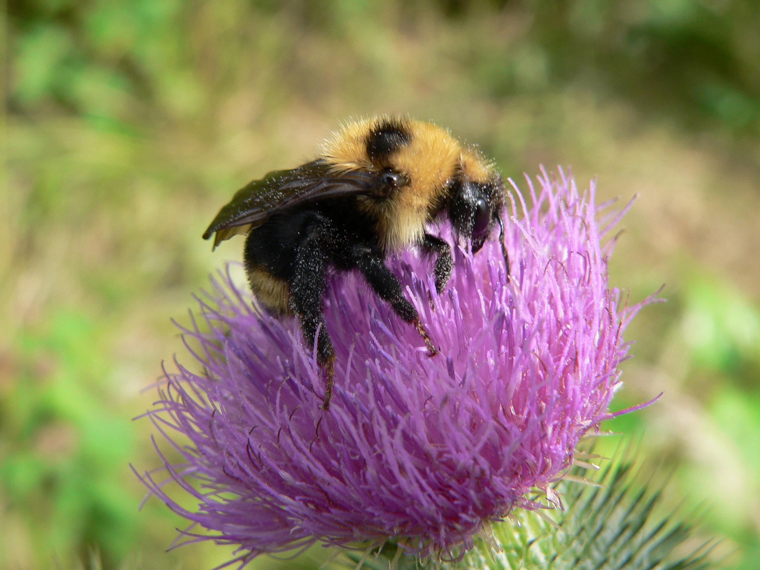 Bee on Thistle - Doris May.jpg