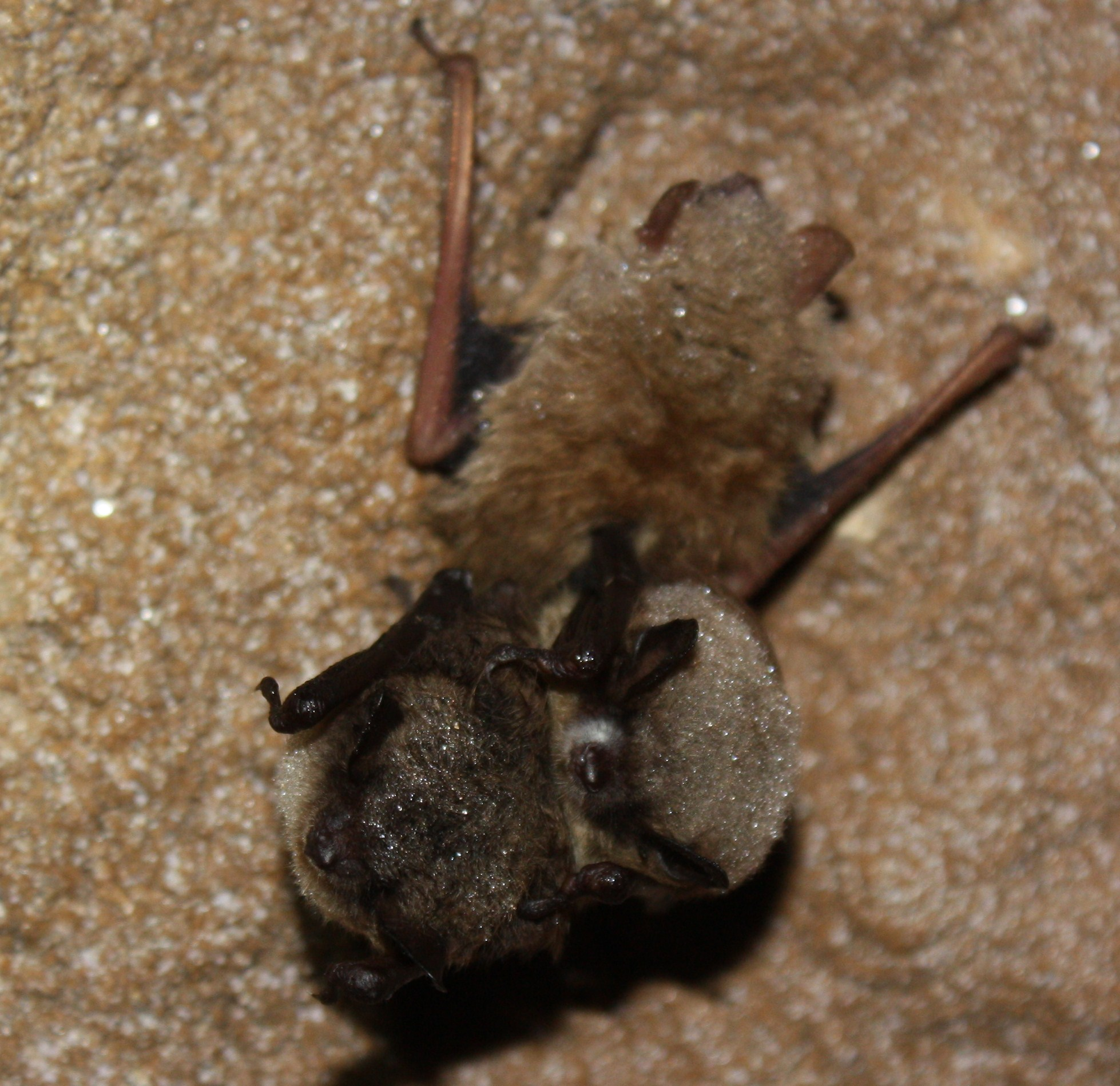 Little Brown Bat with White-nose Syndrome by Ann Froschauer, USFWS