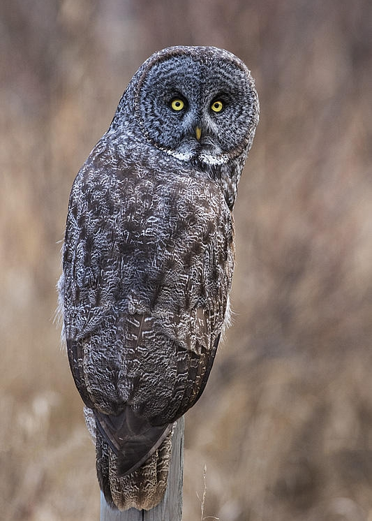 Great Gray Owl by Gerald Romanchuk