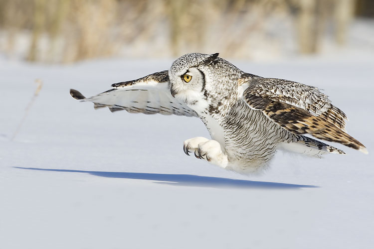 Great Horned Owl by Gerald Romanchuk