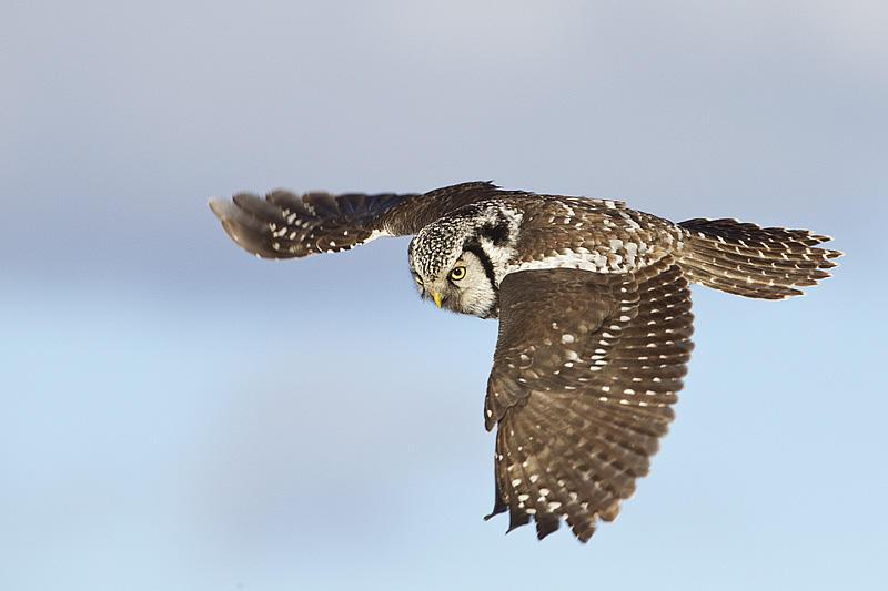 Northern Hawk Owl by Gerald Romanchuk