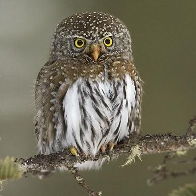 Northern Pygmy Owl by Gerald Romanchuk