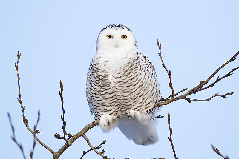 Snowy Owl by Gerald Romanchuk