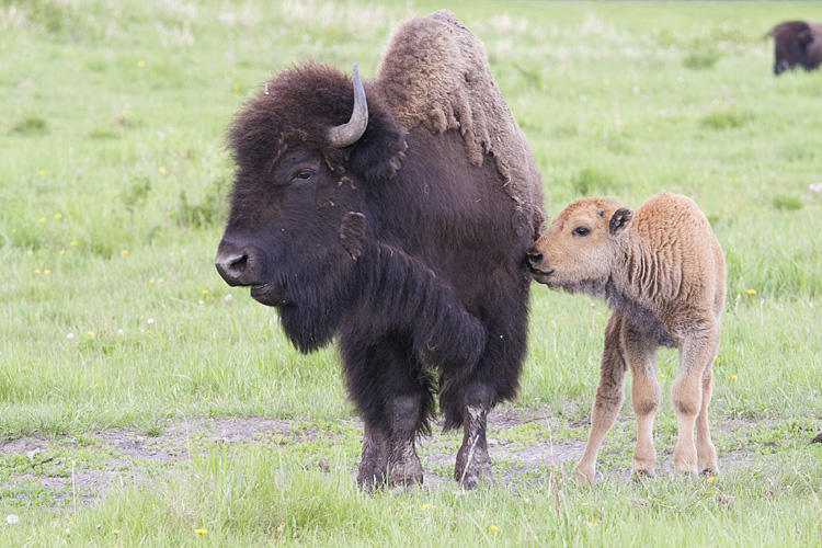 Bison and calf. Photo by Gerald Romanchuk