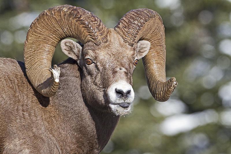Bighorn sheep by Gerald Romanchuk