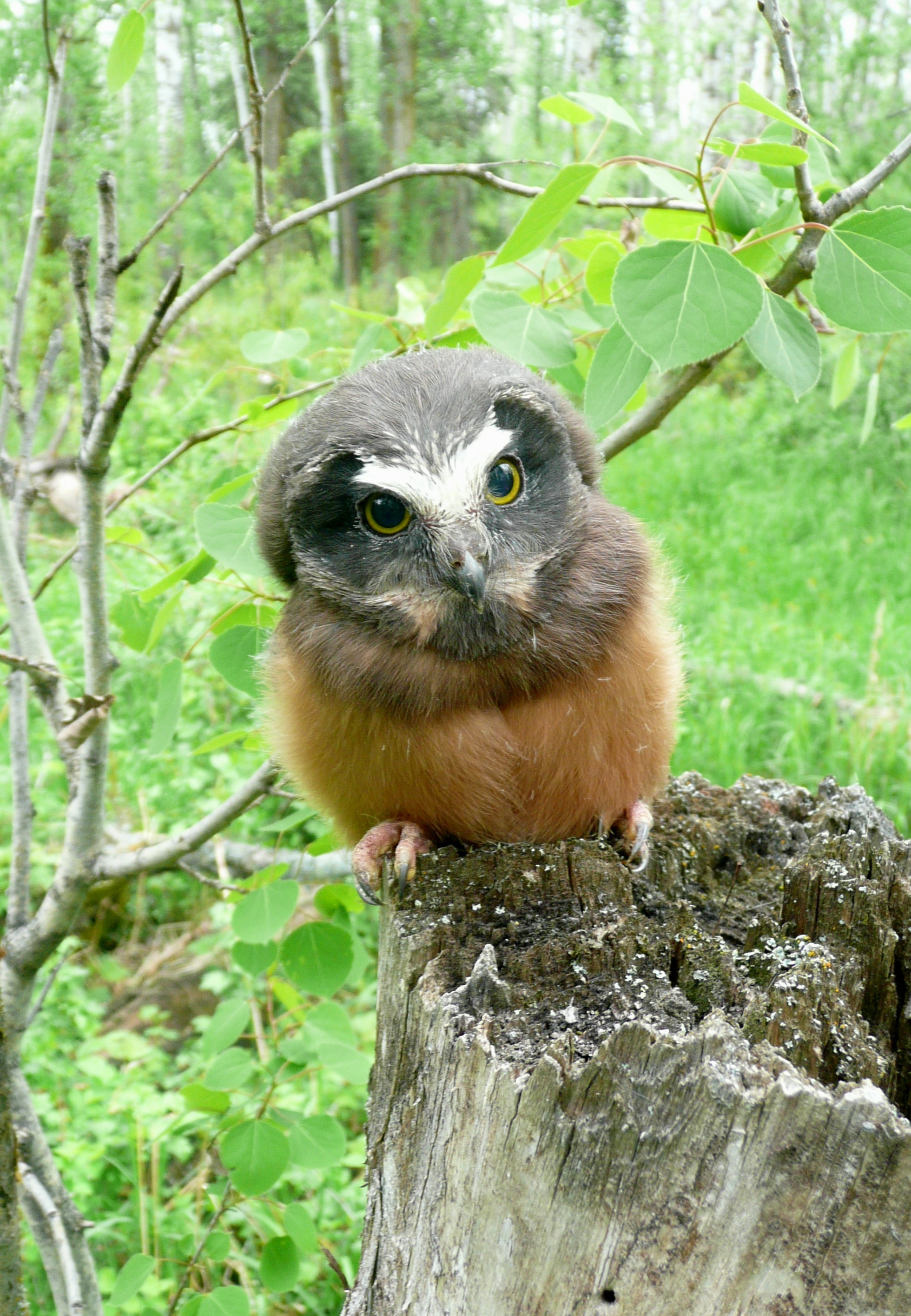 Young saw-whet owl