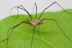 Image from: https://ro.wikipedia.org/wiki/Opiliones