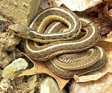 Image from:https://en.wikipedia.org/wiki/Garter_snake