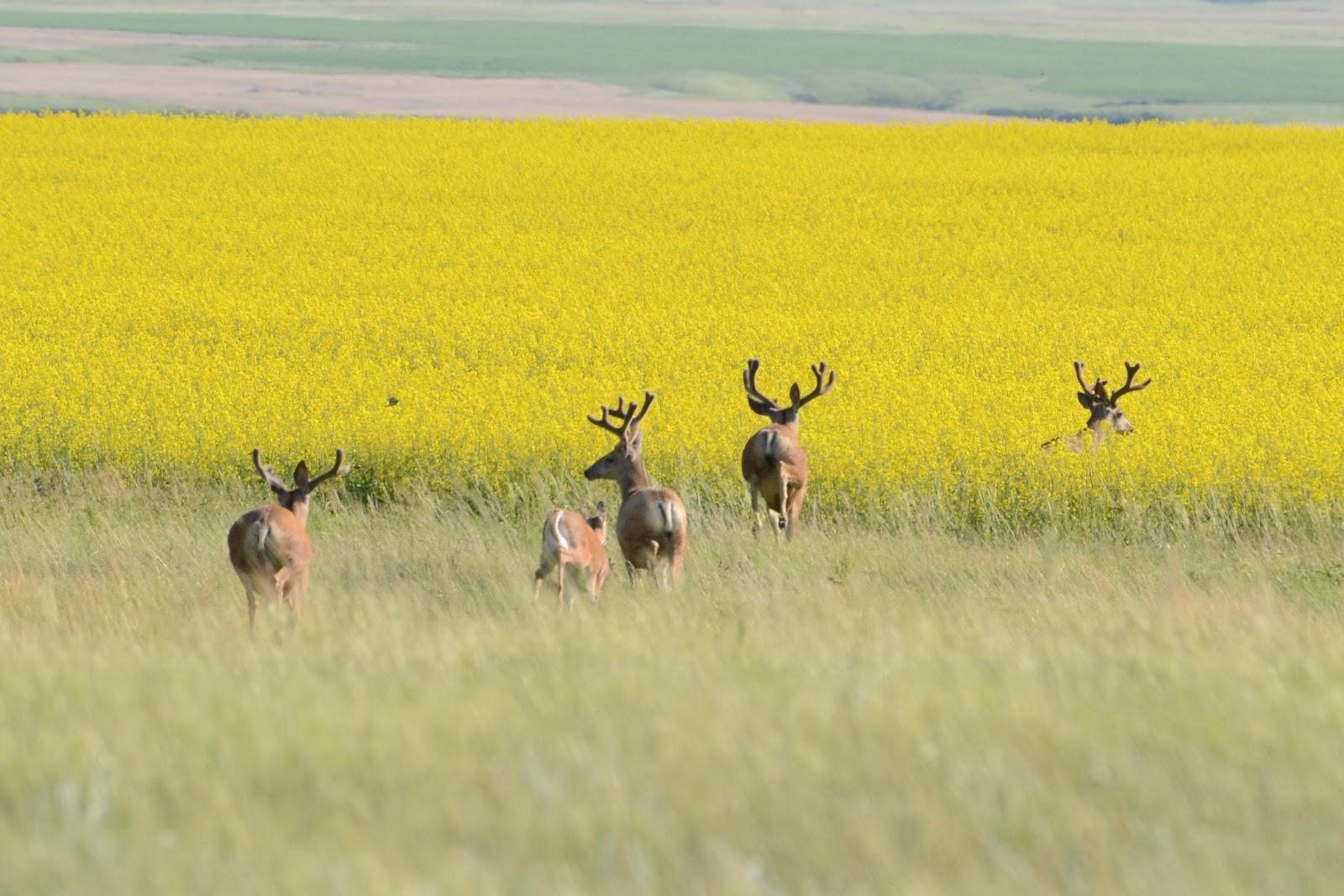 Deer in canola field Photo By: Glenn Eckert