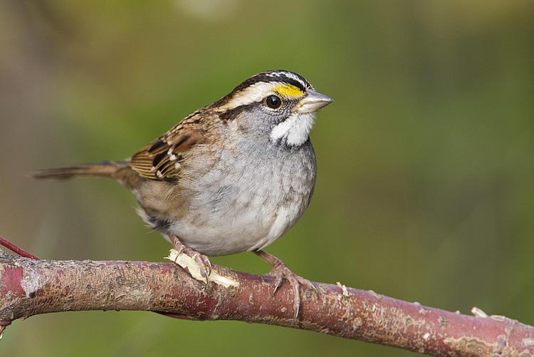 White-throated Sparrow  Photo: Gerald Romanchuk