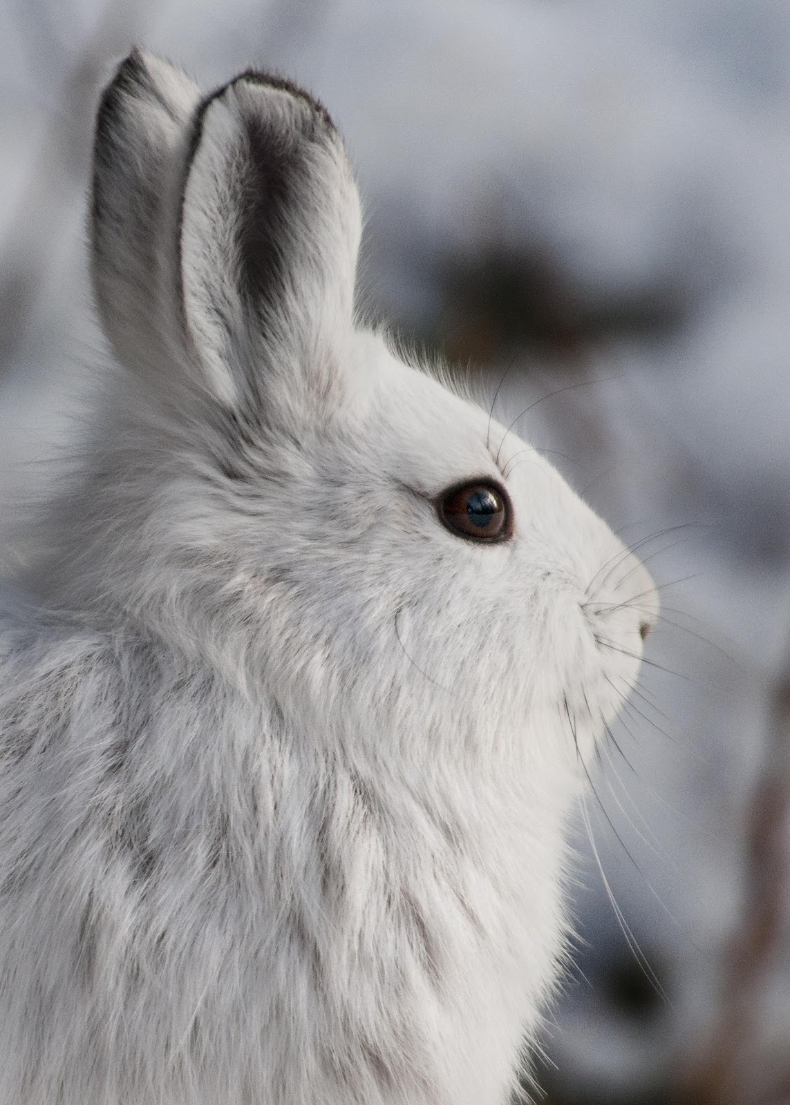 White Snowshoe Hare    By Denali National Park and Preserve - Snowshoe HareUploaded by AlbertHerring, Public Domain,  https://commons.wikimedia.org/w/index.php?curid=29613781