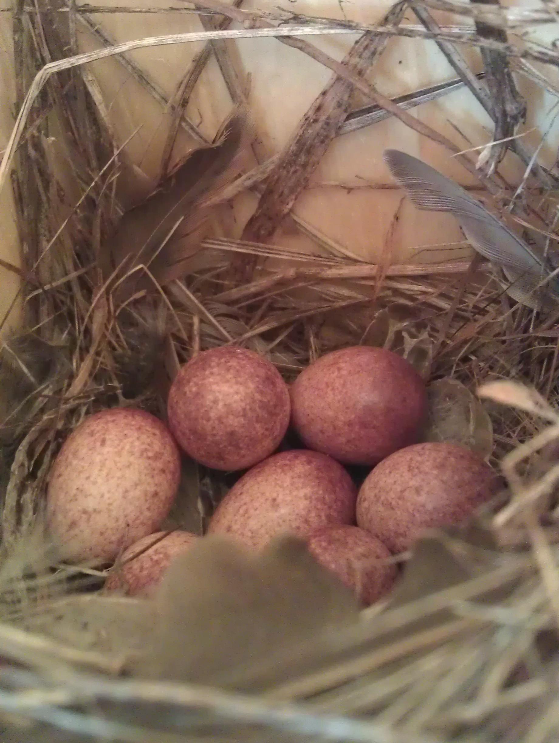 house wren eggs.jpg