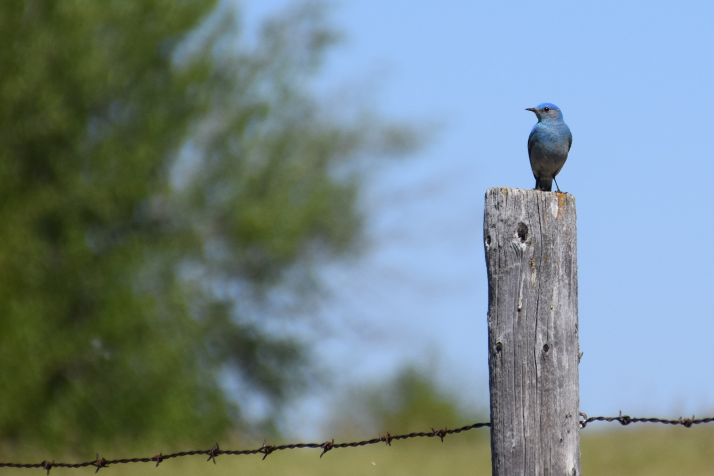 mountain bluebird - EALT.JPG